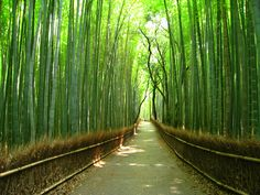 Bamboo Forest, Japan