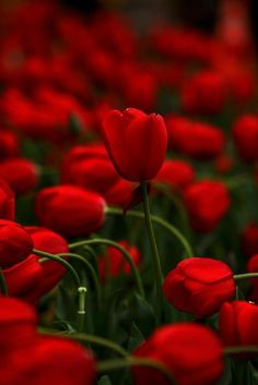 Red and tulips :)