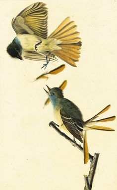 Great Crested Flycatcher. Audubon's Aviary at the NY Historical Society March 8 - May 19 2013