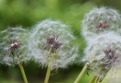 Dandelion Wishes - Macro - 8x10 - Photograph - Bokeh - For sale on Etsy by Pick a Pic.