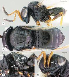 Trissolcus japonicus female