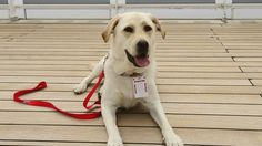 An assistance animal can be a great help for certain people with multiple sclerosis. Find out how one woman's service dog helps ease her MS.