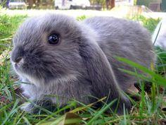 dwarf lop rabbit!