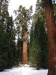 General Sherman...the world's largest living tree in Sequoia-Kings Canyon NP.  We took a road trip/camping trip with the girls a few years ago.  One of the best trips ever!