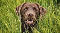 American Labrador, English Labrador, The Kennel Club, Black Lab Puppies, Red Dog, Love Affair, Iowa, Labrador Retriever, Wildlife