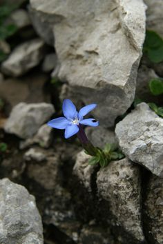 Gentiana terglouensis (798×1200) Nothing But Flowers, Rock Flowers, Kraut, The Rock, Perfume, Stone, Image, Beautiful, Gardens