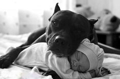 19 Pitbull Insieme A Bambini Piccoli. Forse Quello Che Pensi Su Di Loro E' Completamente Sbagliato