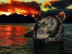 Bear at Sundown