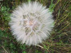 #blooming #closeup #dandelion #dandelions #doctors office #flower #flowers #fluff #grass #green #lactarius #macro #meadow #medicinal plants #medicinal products #nature #nuns #plant #plants #pollen #polyana #seeds #sonc