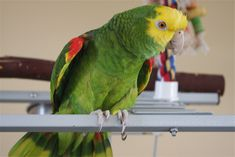 Yellow-headed Parrot : The Yellow-headed Parrot is a stocky green parrot with a yellow head. Amazon Birds, Amazon Parrot, St. Lucia, Pirate Parrot, Types Of Berries, Talking Parrots, Honduras Travel, Mexico Food, Pirate Life