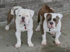 Blue & Tri Old English Bulldogge Breeder, Our bulldog Rebel