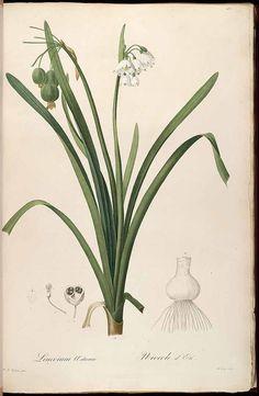 Redouté, Leucojum aestivum L. http://www.plantillustrations.org/illustration.php?id_illustration=37294