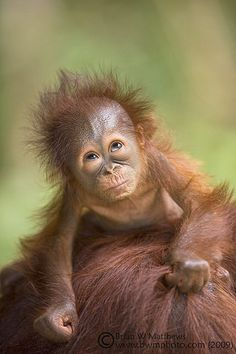 Orang-utan baby looking up by Fauna & Flora International, via Flickr