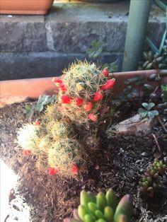 Cactus comenzando floración sept. 2016