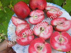 Apfel Roter Mond (rotes Fruchtfleisch-extrem selten)