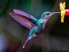 Exquisite Hummingbirds in Costa Rica - Travel To Eat-- Female Sapphire-Throated Hummingbird (Lepidopyga coeruleogularis confis). Hummingbird Pictures, Hummingbird Colors, Humming Bird Feeders, Humming Birds, Most Beautiful Birds, Pretty Birds, Hummingbird Tattoo, Costa Rica Travel, Colorful Birds