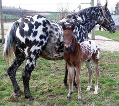 appaloosa | AppaloosaAppaloosa – Quarter Horses