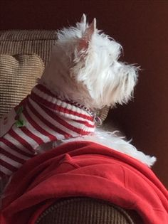 Westie in the holiday spirit. Festively dressed in candy cane stripes. Terriers, Terrier Dogs, Westies, Westie Puppies, West Highland White Terrier, White Dogs, Cockapoo, Little Dogs, Dog Life