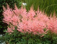 jaloangervo Cattleya kukkii syksyllä elo-syyskuussa. hyvä täydentäjä aikaisemmin kukkivien jaloangervojen joukkoon.