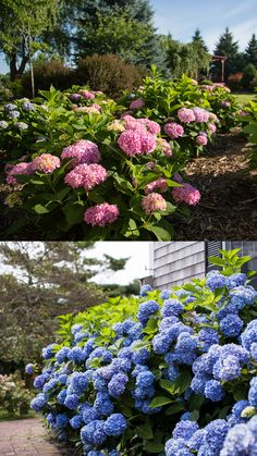 Spring tip: When planting hydrangeas, add Color Me Pink™ or Color Me Blue™ to the soil for beautiful pink or blue blooms! Garden Yard Ideas, Lawn And Garden, Garden Projects, Landscaping Shrubs, Front Yard Landscaping, Beautiful Gardens, Beautiful Flowers, Planting Flowers, Flowers Garden