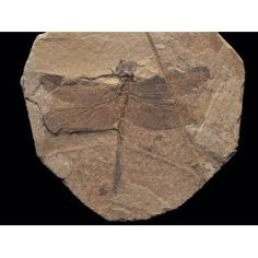 Dragonfly fossil, China