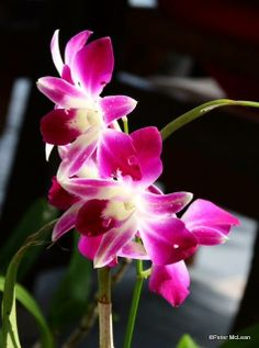 Orchids.  By TG member Mac, who is on vacation in Thailand