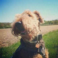 Berti is a little #sunshine!  #dogslife #dogstagram #dog #dogsofinstagram #dogs #dogsarelove #mensbestfriend #labradorsofinstagram #labradorable #labradorsforlife #happydoggy #happy dogs #happymonday