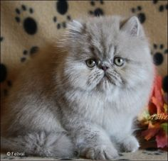 This exotic persian cat is lilac in color and looks like my oldest pet daughter Roxy AKA Beetle. She is the softest thing on earth.