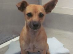 NA - napa 18400 Date In:08-24-2014 Type:Dog Breed:Chihuahua Sex:M Age:0 Years 10 Months Descrption: