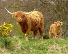 Highland Cow and Calf - Scotland