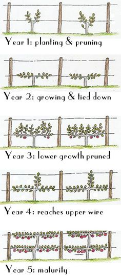 Espalier Fruit Trees for our orchard. Espalier = the horticultural and ancient agricultural practice of controlling woody plant growth originally for the production of fruit,by pruning and tying branches to a frame so that they grow into a flat plane, frequently in formal patterns, against a structure such as a wall, fence, or trellis.  Want to make an Apple fence out front.