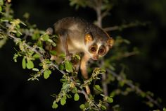 slender #loris, an endemic animal found in south #India is facing a less noticed threat now - unethical #wildlife photographers who function as a racket to catch them to get better pics !