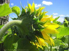 Sunflower and a blue sky.