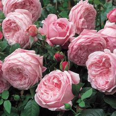 Spirit of Freedom - David Austin Roses