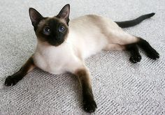 Lintama Cats: Breeder of traditional/classic Siamese cats in Suffolk