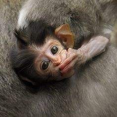 These adorable baby monkey pictures will make even the worst days better 🙂. Cute Baby Monkey, Cute Baby Animals, Funny Animals, Monkey 3, Monkey Pictures, Animal Pictures, Funny Pictures, Primates, Photos Singe