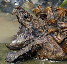 Alligator Snapping Turtle;ugly animal; can weigh about 300 pounds!; lives in freshwater swamps of Southern United States; It has a wiggly organ in its mouth that wiggles as bait for unsuspecting prey -gross!
