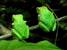 Pair of Waxy Monkey Tree Frogs  by WinsomeWorks,