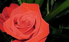 La rosa, ben vermella. M'agrada la flor i m'agrada el color (no valen les grogues, blaves o taronges), independentment que sigui Sant Jordi.