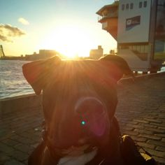 Gyula looking handsome in the undergoing #sun With a little view of #Rotterdam. #pitbull
