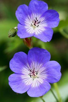 Buy Geranium Rozanne Online | Hayloft Plants