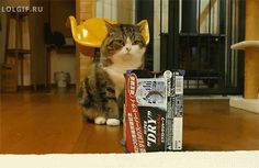 Maru the Cat who loves boxes more than anything