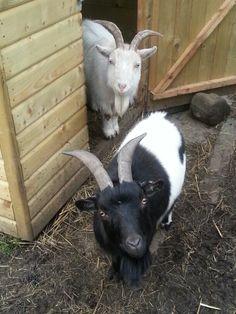 20. I saw Esaw...infront of Israel. Little Bruvs goats #100happydays