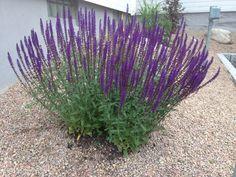 Stäppsalvia Caradonna:dekorativ perenn med aromatiskt bladverk och lila blommor på höga, mörka stjälkar. Höjd:60-70cm