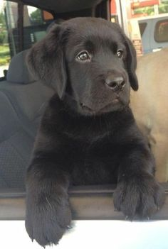 Mind Blowing Facts About Labrador Retrievers And Ideas. Amazing Facts About Labrador Retrievers And Ideas. Black Lab Puppies, Cute Puppies, Cute Dogs, Dogs And Puppies, Doggies, Baby Animals, Cute Animals, Black Labrador, Black Labs