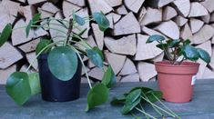Er din Pilea Peperomioides bar forneden? Green Apartment, Planting Flowers, Planters, Garden, Indoor, Tips, Decor, Inspiration, Interior
