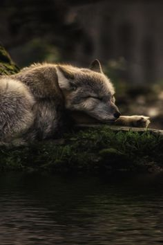 Wolf - sleeping where the waters flow (photo by Michael Rehbein) Beautiful Creatures, Animals Beautiful, Tier Wolf, Animals And Pets, Cute Animals, Wolf Hybrid, Wolf Love, Wolf Spirit, Beautiful Wolves