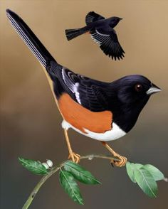 Eastern Towhee: Large sparrow with black upperparts, hood and upper breast, rufous flanks, and white underparts. Wings are black with white markings, and tail is long and black with white corners. Short, bounding flight, alternates several rapid wing beats with wings pulled to sides.