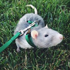 rat on a leash, how cute is that?