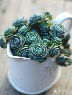Succulent Arrangements, Cacti And Succulents, Planting Succulents, Planting Flowers, Succulent Gardening, Greenhouse Gardening, Container Gardening, Terrarium Plants, Rare Plants